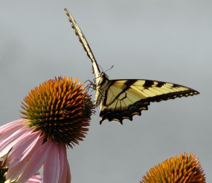 butterfly on coneflower 2014_edited-2