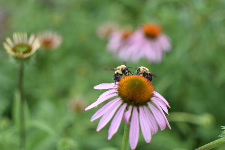 bees coneflower
